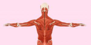 Anatomy model of fascia