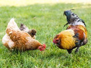Homestead Chickens